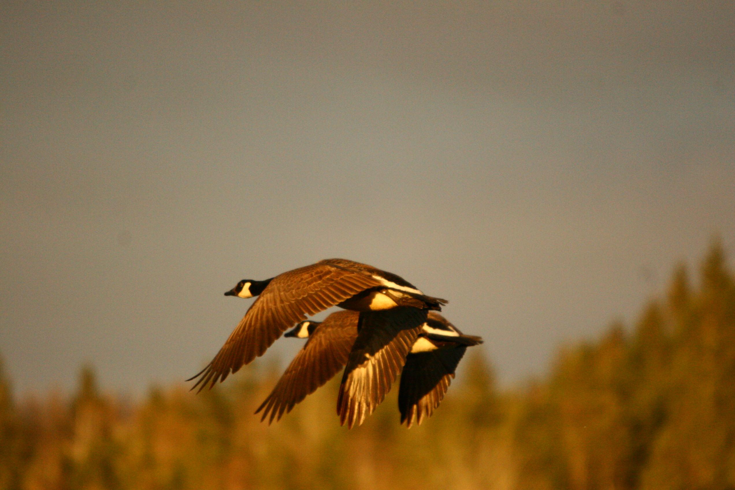 C. Geese in flight