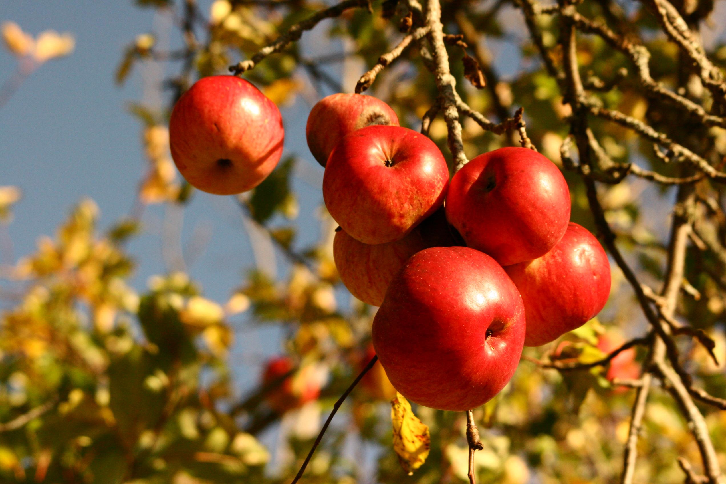Alexander Apples